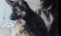 german shepherd for sale in Tamil Nadu Classifieds & Buy and