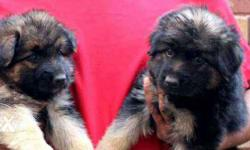 German Shepherd Quality Puppies - 4800/- Rs Only