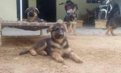 Pure breed German shepherd pups available Male 6,000