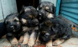German shepherd puppies available for show homes...
