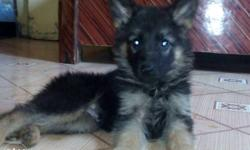German Shepherd Puppy female available