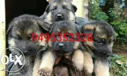 German Shepherd Puppy Litter