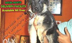 Imported quality German shepherd Puppies available here
