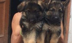 Male and female puppies are available