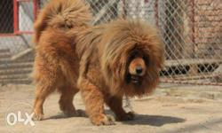 Go kennel in Tibetan mastiff puppy good lines best
