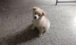 Cute baby male pom for sale price is negotiable