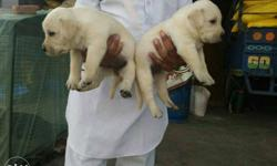 rkennel offers top quality labrador puppies heavy bone