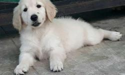 Champion blood line Golden retriever female, With