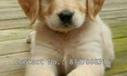 good quality golden retriever puppies available and all