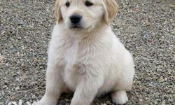 good quality golden retriever puppies for sell and all