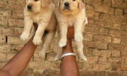 GOLDEN retriever puppies available pure breed puppies