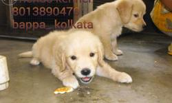 Golden retriever puppies for immediate sale Very active