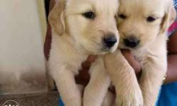 """GOLDEN RETRIEVER PUPPIES"" Pure bloodline and high"