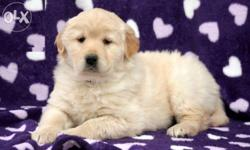 ���Golden retriever puppies ���supercline��� for show