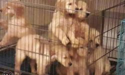 Golden retriever pups from pedigreed mother and father.