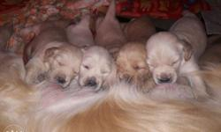 Golden Retriever 40...45days old MALE & FEMALE Puppies