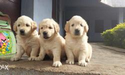 Golden retriver Male female pups for sale Male 25000/-