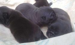Good bread pug puppy.. Excelent puppy with energetic