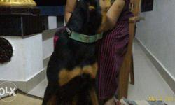good dog,cross rott & doberman,