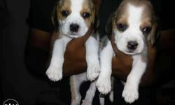 Good Quality Beagle puppies 29days Deworming done call