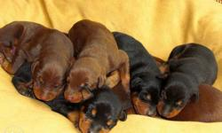 Good quality doberman puppy male and female