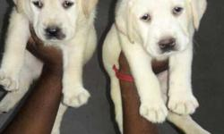 Good quality fawn female lab available