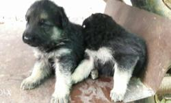 Good quality german shepherd puppies available. Male