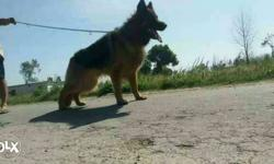 Heavy and top quality gsd male pup havey head full
