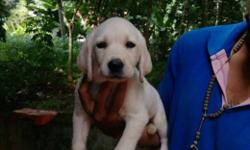 good quality white lab puppies for sale