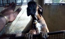 great dane for sale in Kerala Classifieds & Buy and Sell in Kerala