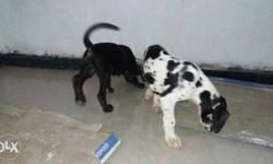 Great dane puppies female with paper for lot sale 5