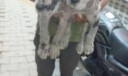 Great dane puppies for sale in agra