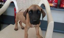 40 days old greatdane male pup available interested