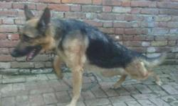 I sale my gsd female dog excelent hight and lanth good