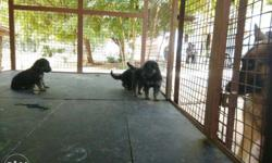 Gsd long coat healthy puppies for sale..