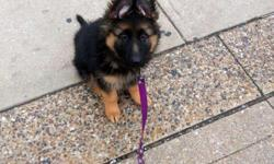 gsd puppies double coat female puppy 3 months old