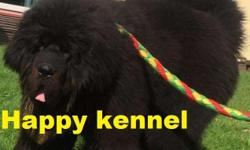 Happy kennel in Tibetan mastiff puppy best gsd full