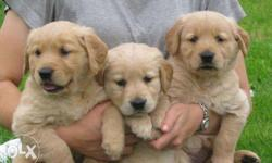 Hi Pure Breed Golden Retriever Show Quality Blood