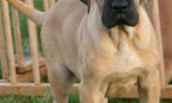 HappyKennel in Great dane good puppys for sell