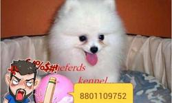 active n attractive pom puppy pom puppy