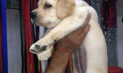 Heavy bone and puch Face Labrador female puppy for sale