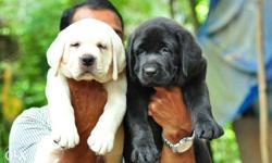 Show quality lab puppies available pure breed import