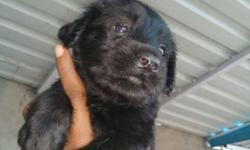 Heavy bone Labrador puppies available in korba Male -