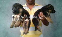 Long coat german shepherd puppies available at WISHWAS