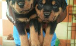 heavy bone Rott male & female puppies available in