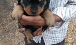 35 days old puppies ready to go there new homes. Male -