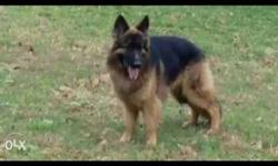 heavy long coated German Shepherd male available for
