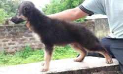 Heavy Long Coated Show Quality GSD Male Puppy Available