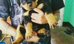 Heavy muzzle and double bone Rottweiler puppy.Urgent