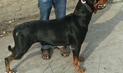 Heavy Rottweiler female sale age 3 years coming heat